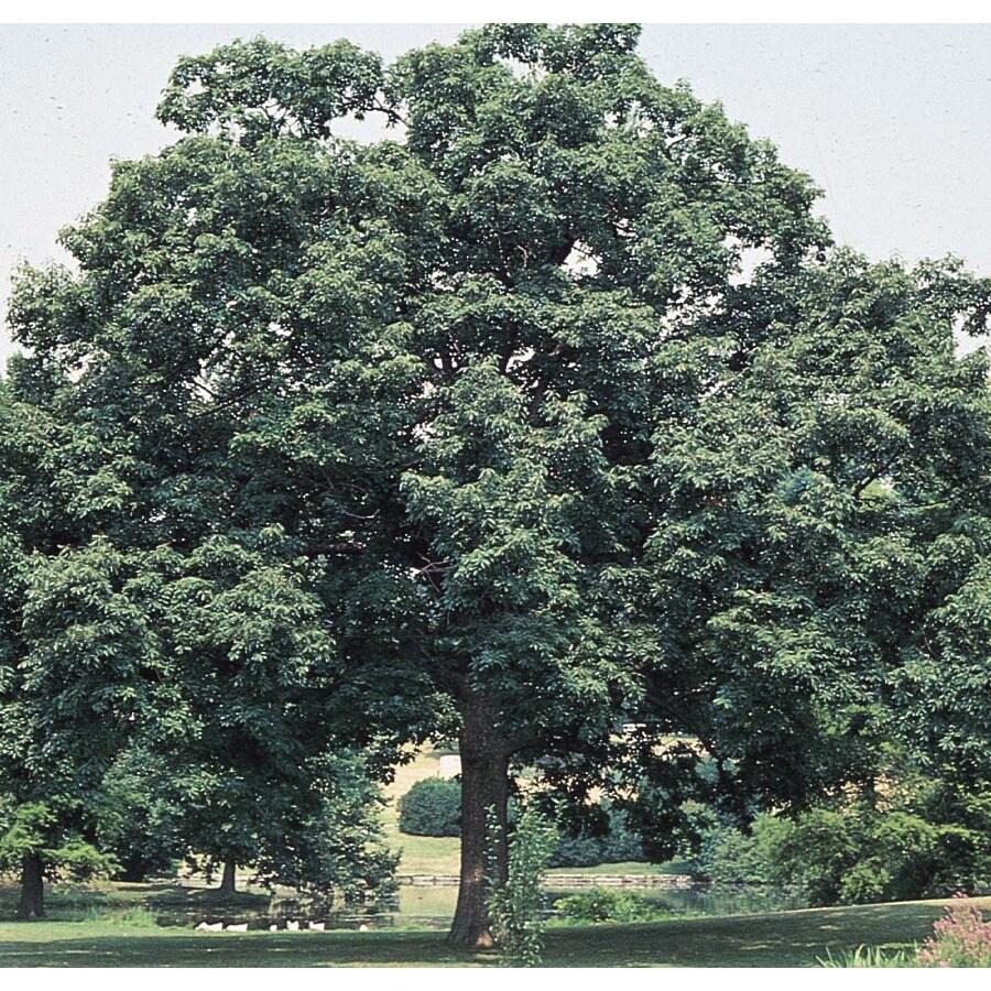 19.59-Gallon Chinquapin Oak Shade Tree (L5853)