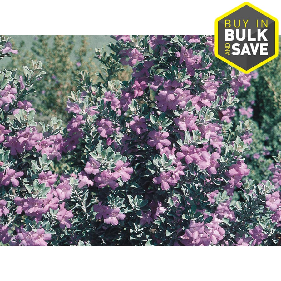 2.5-Quart Purple Texas Sage Flowering Shrub (L3562)