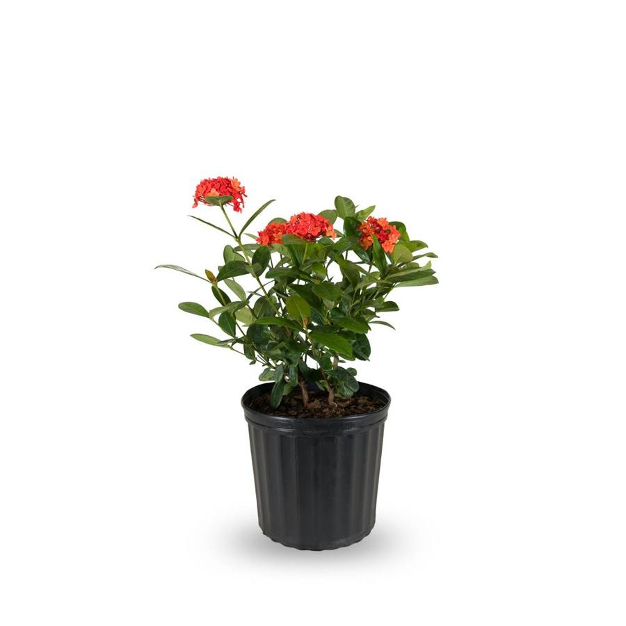 2-Gallon Mixed Ixora Flowering Shrub (L4348)