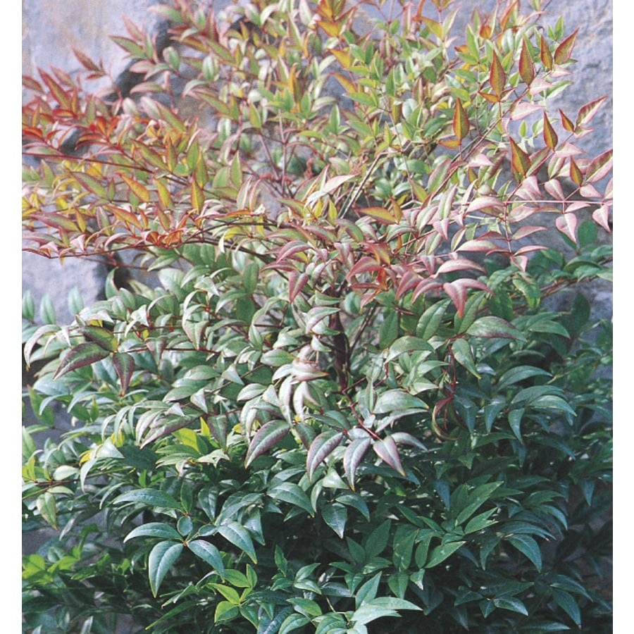2.25-Gallon White Moon Bay Nandina Accent Shrub (L5567)