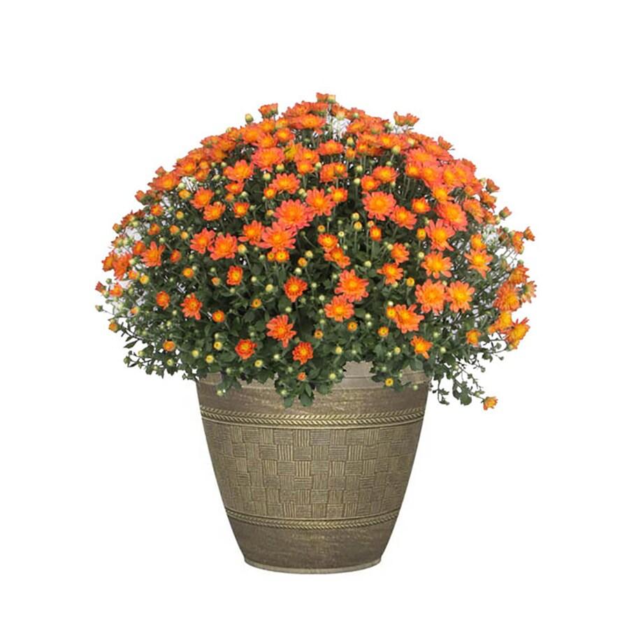 3.00-Gallon Mum Planter