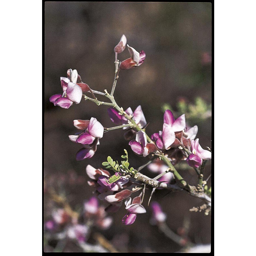5.5-Gallon Desert Ironwood Flowering Tree (L14922)