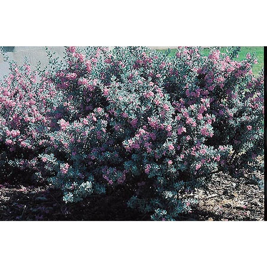 5.5-Gallon Purple Silverado Sage Flowering Shrub (L8621)