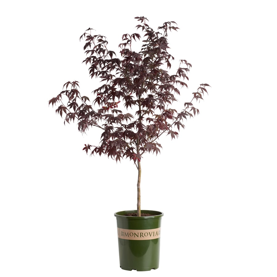 Monrovia 3.58-Gallon Bloodgood Japanese Maple Feature Tree (L1088)