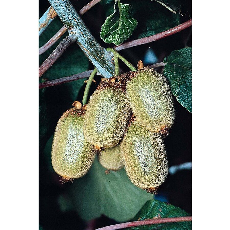 Monrovia 3.6 Gallon- Kiwi Vine Vincent (Female)