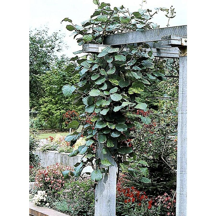Monrovia 3.6 Gallon- Kiwi Vine (Male)