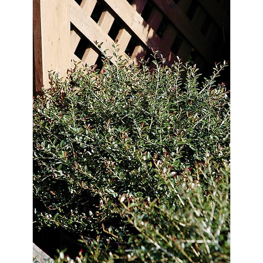 Monrovia 2.8-Gallon White Bordeaux Dwarf Yaupon Holly Flowering Shrub