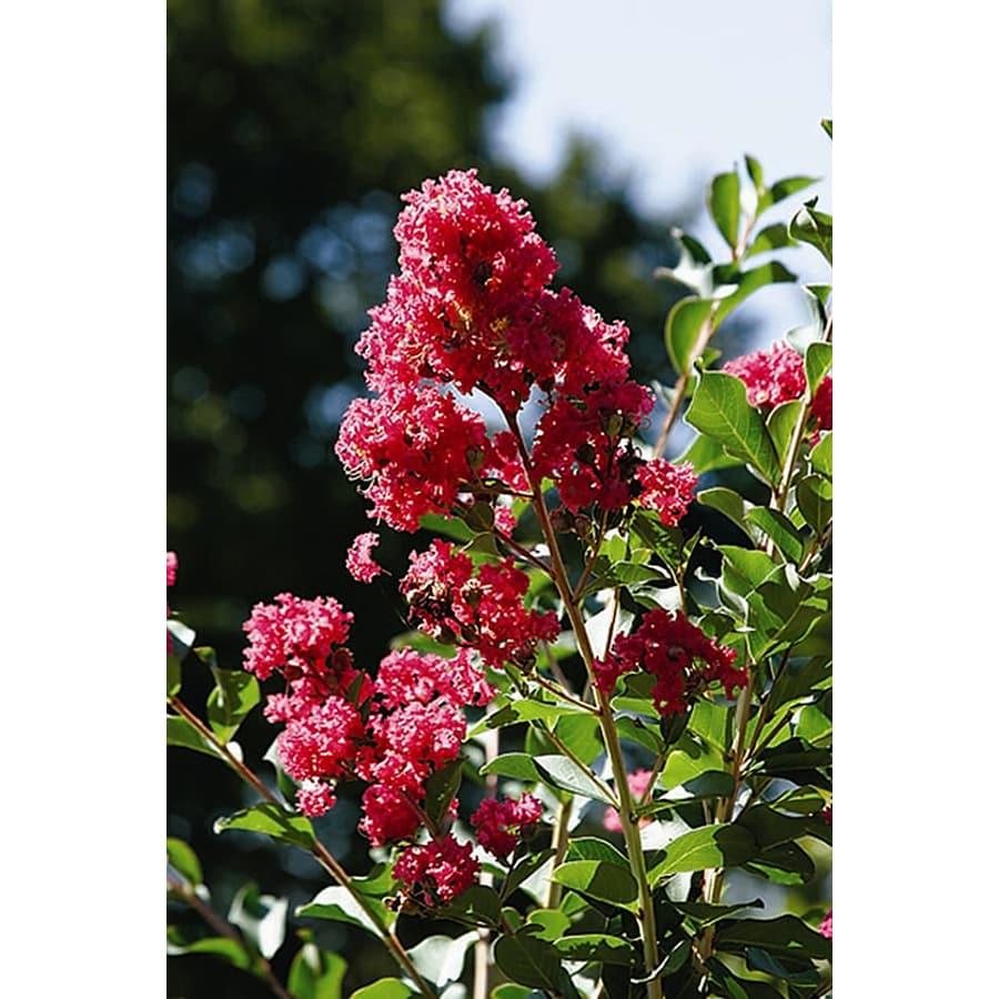 Monrovia 3.58-Gallon Tuscarora Crape Myrtle Flowering Tree