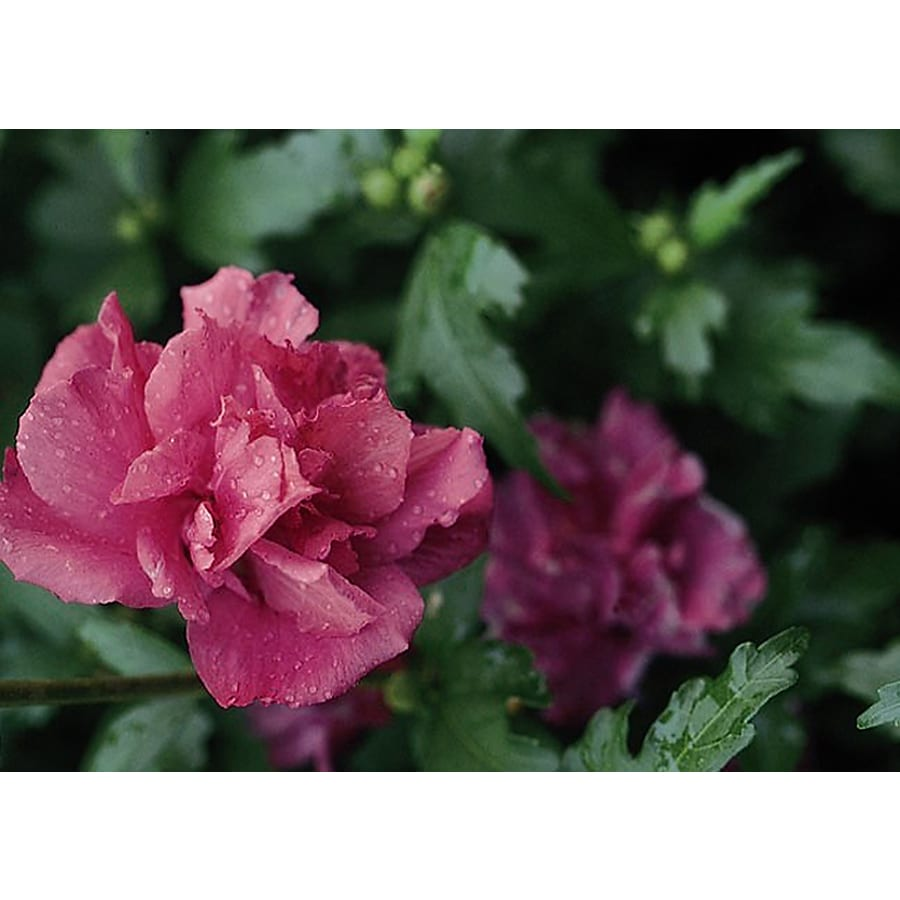 Monrovia 3.58-Gallon Pink Collie Mullens Rose of Sharon Flowering Shrub