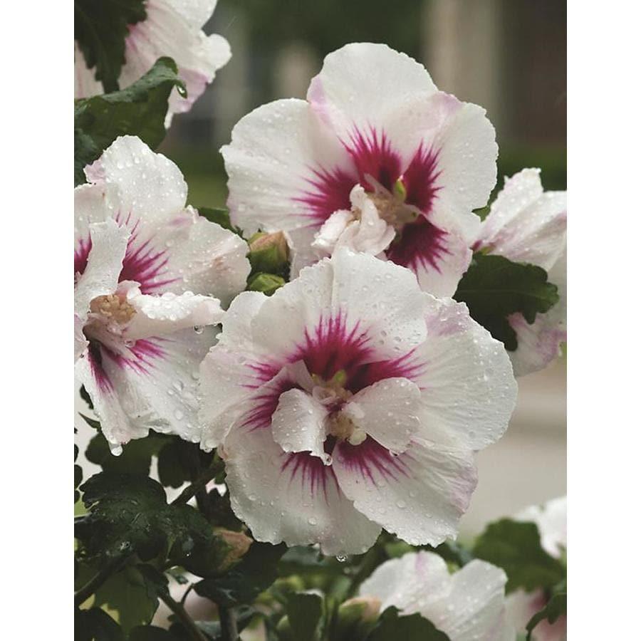 Monrovia 2.6-Quart Bicolor Helene Rose of Sharon Flowering Shrub