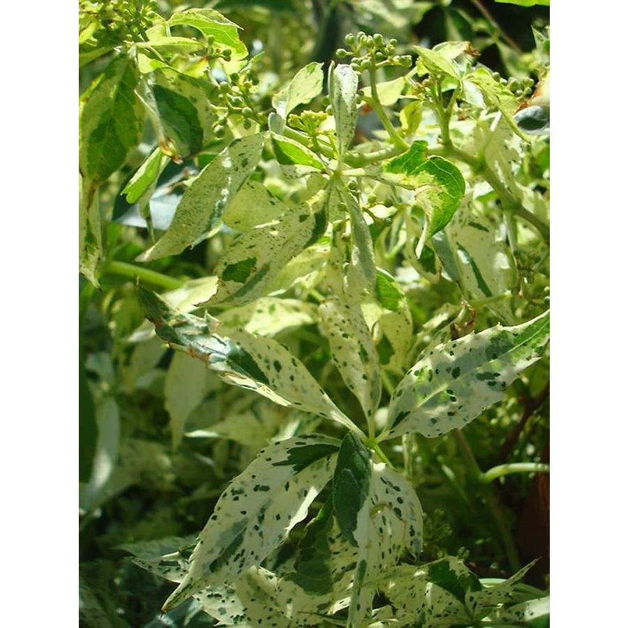 Monrovia 2.6 Quart- Star Showers  Virginia Creeper P10128