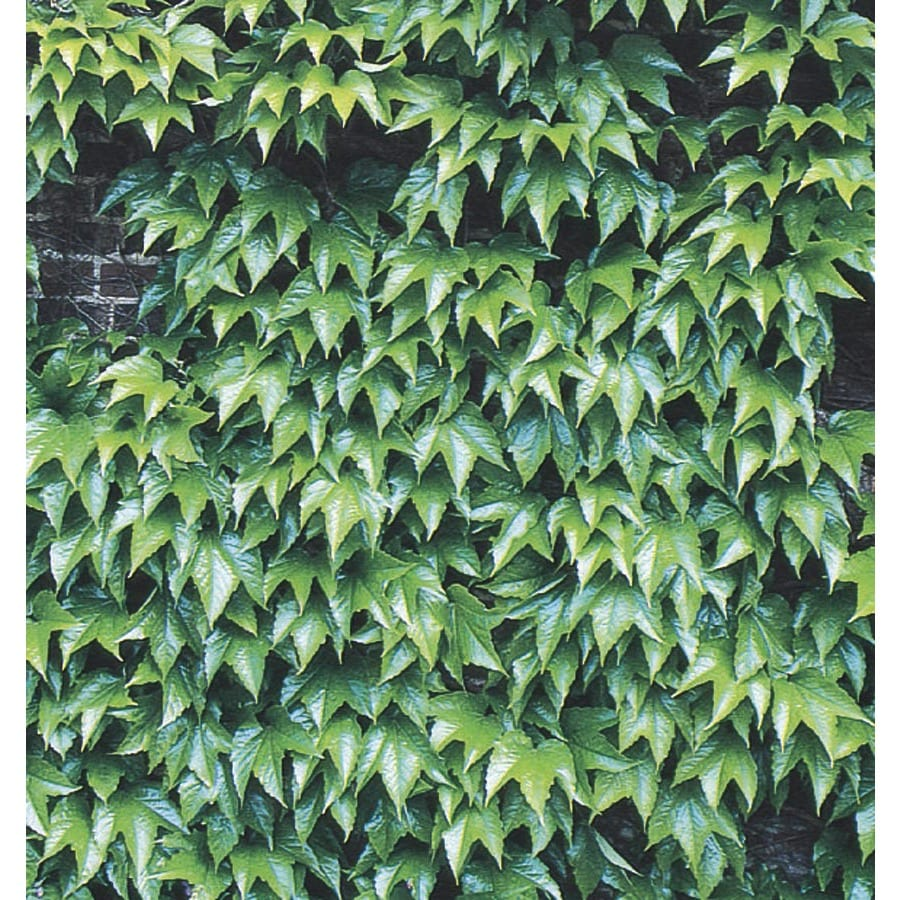 Monrovia 3-Quart Green Showers Boston Ivy Plant (L6208)