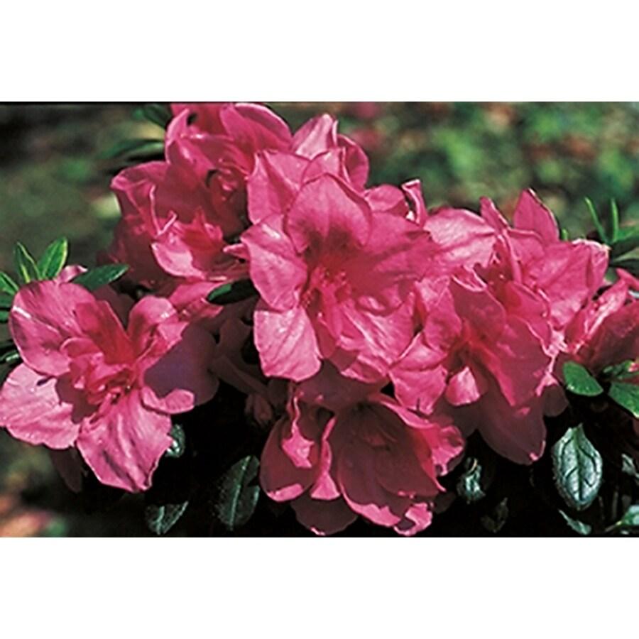 Monrovia 1.6-Gallon Red Rose Glow Azalea Flowering Shrub