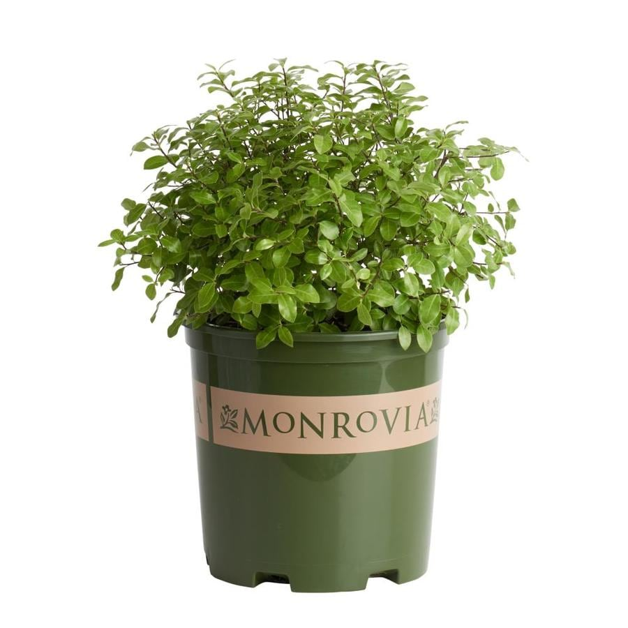 Monrovia 1.6-Gallon Golf Ball Kohuhu P15329 Feature Shrub