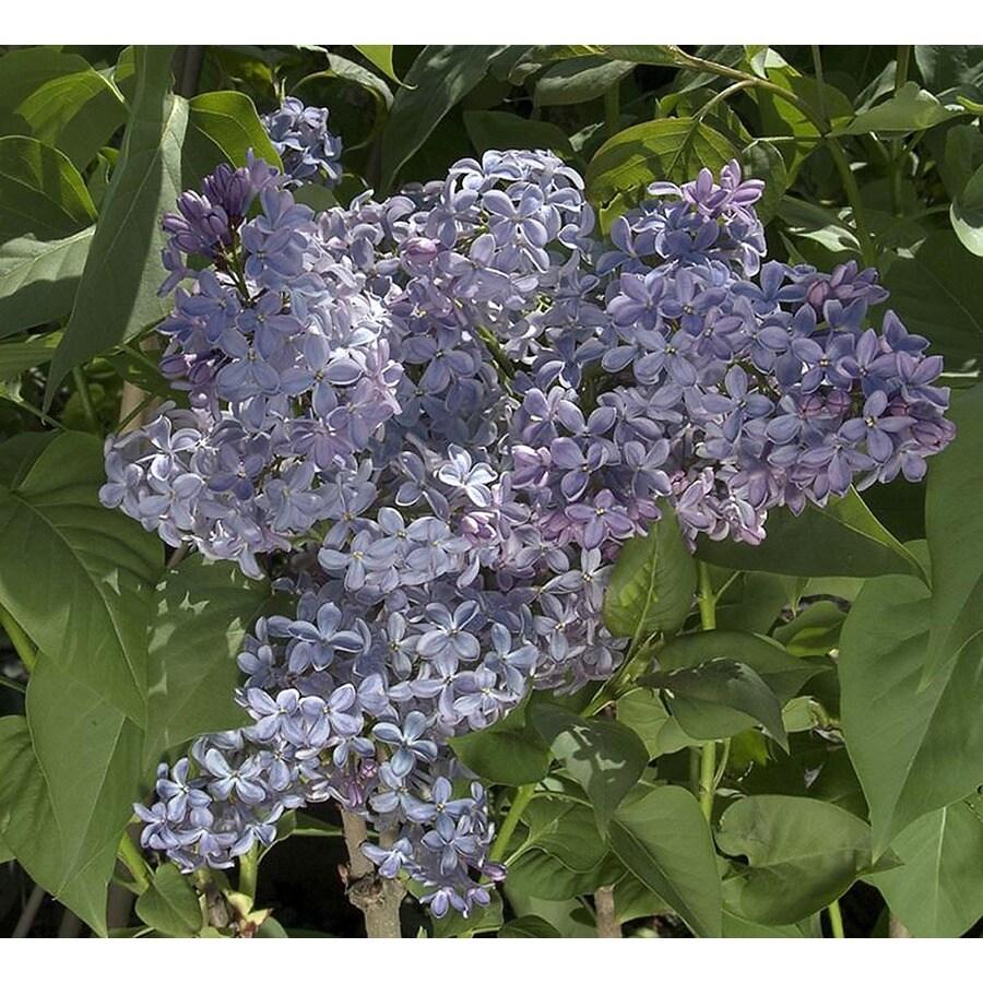 Monrovia 1-Gallon Blue President Lincoln Lilac Flowering Shrub
