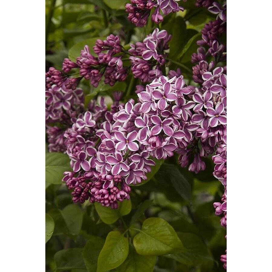 Monrovia 1-Gallon Lavender Sensation Lilac Flowering Shrub