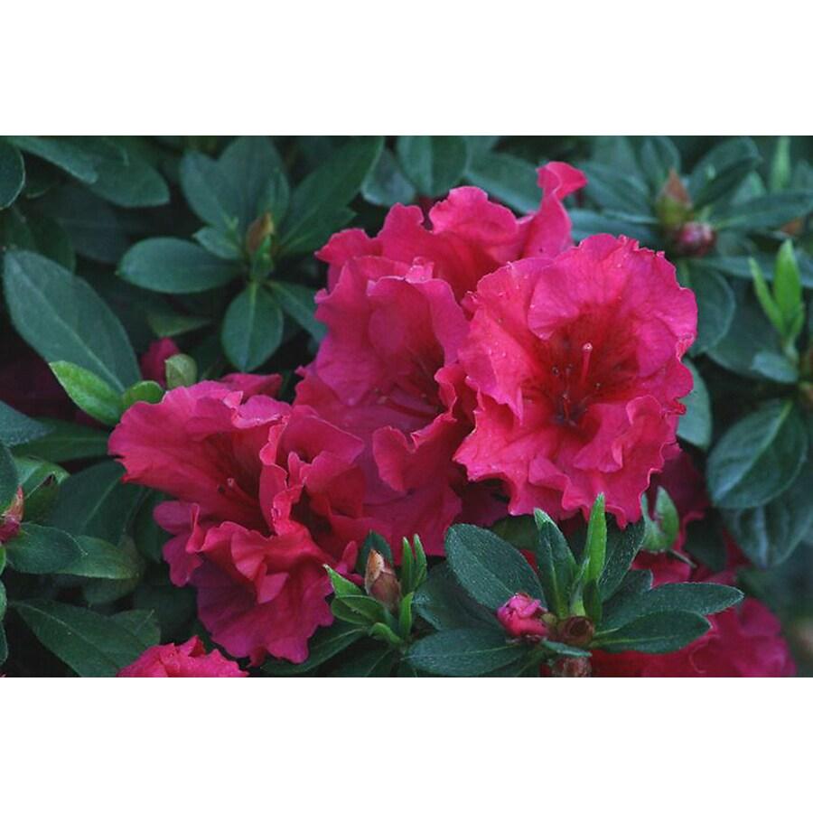 Monrovia 2.6-Quart Red Red Ruffles Azalea Flowering Shrub