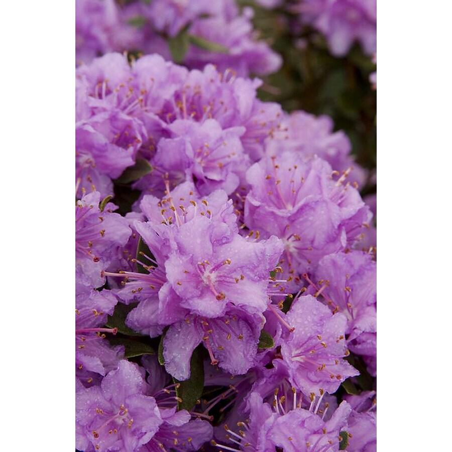 Monrovia 1.6-Gallon Purple Purple Gem Rhododendron Flowering Shrub
