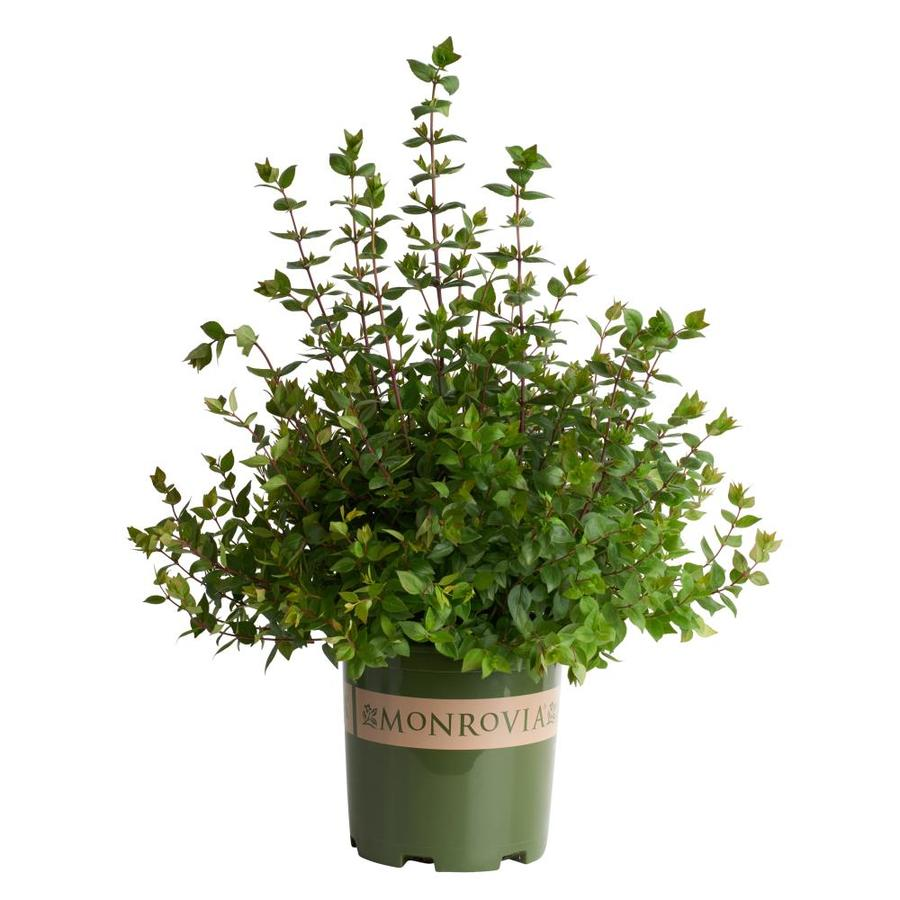 Monrovia 1.6-Gallon White Rose Creek Abelia Flowering Shrub