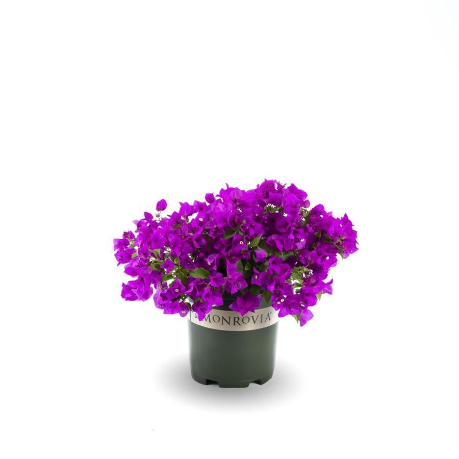 Monrovia 1.6 Gallon- Purple Queen  Bougainvillea