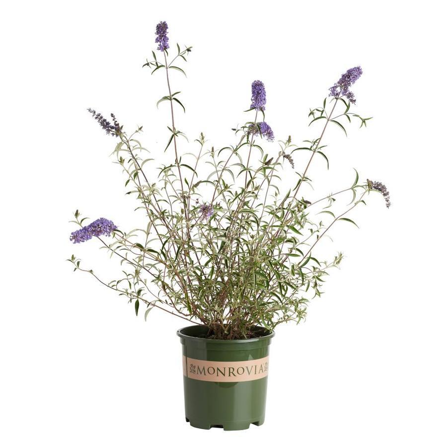 Monrovia 1.6-Gallon Lavender Dwarf Butterfly Bush Flowering Shrub