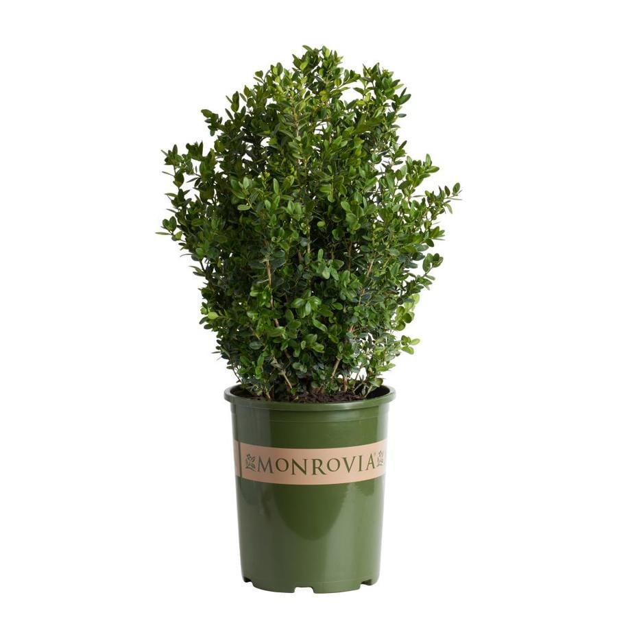 Monrovia 3.58-Gallon Yellow Green Tower Boxwood P15243 Flowering Shrub