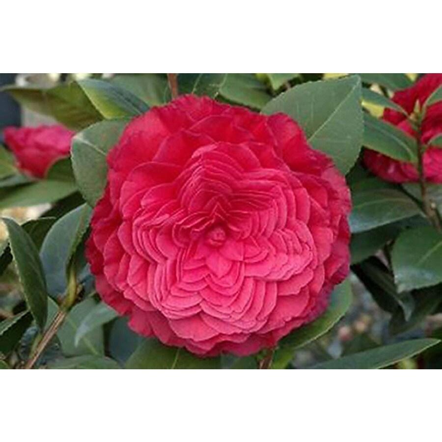 Monrovia 3.58-Gallon Red Nuccio's Bella Rossa Camellia P13023 Flowering Shrub