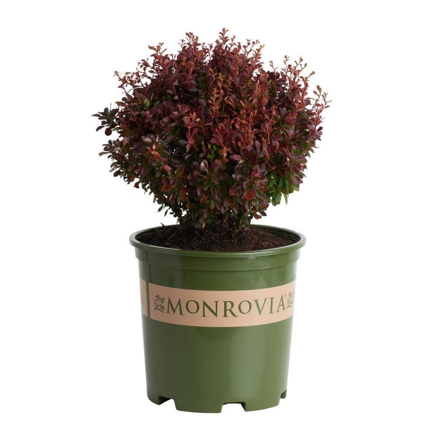 Monrovia 1.6-Gallon Yellow Pygmy Ruby Barberry Flowering Shrub