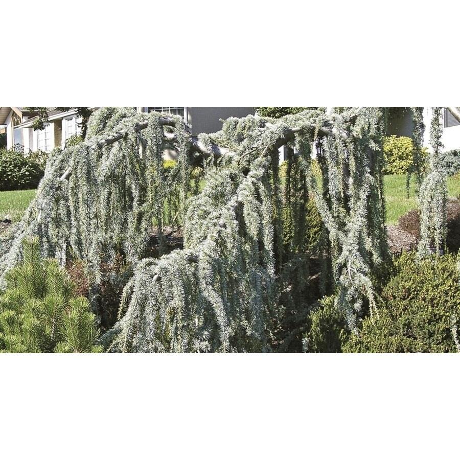 Monrovia 3.58-Gallon Weeping Blue Atlas Cedar Sperentine Feature Tree (L22984)