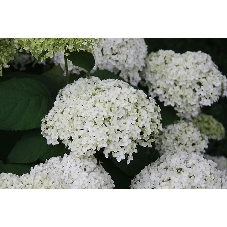 Monrovia 1.6-Gallon White Annabelle Hydrangea Flowering Shrub