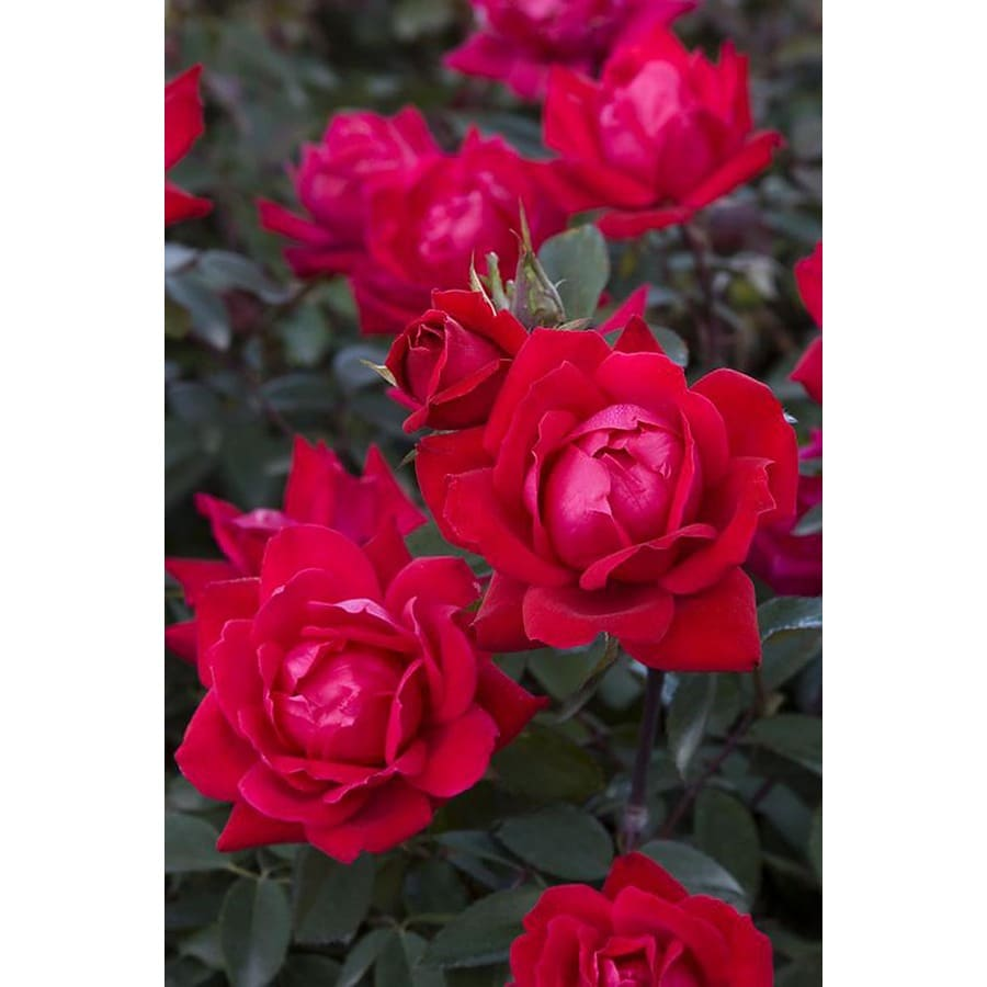 Monrovia 3.58-Gallon in Pot (with Soil) Double Knock Out Rose
