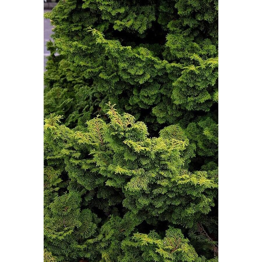 Monrovia 1.6-Gallon Koster's False Cypress Foundation/Hedge Shrub