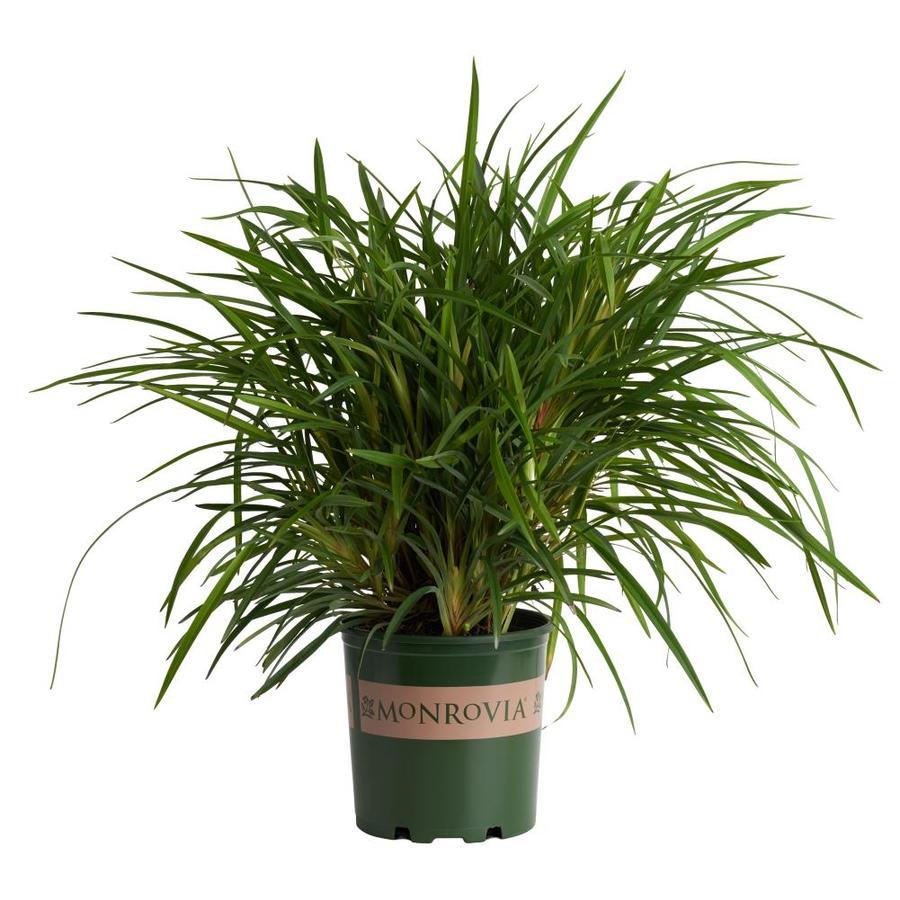 Monrovia 1-Gallon Little Becca Flax Lily P18452
