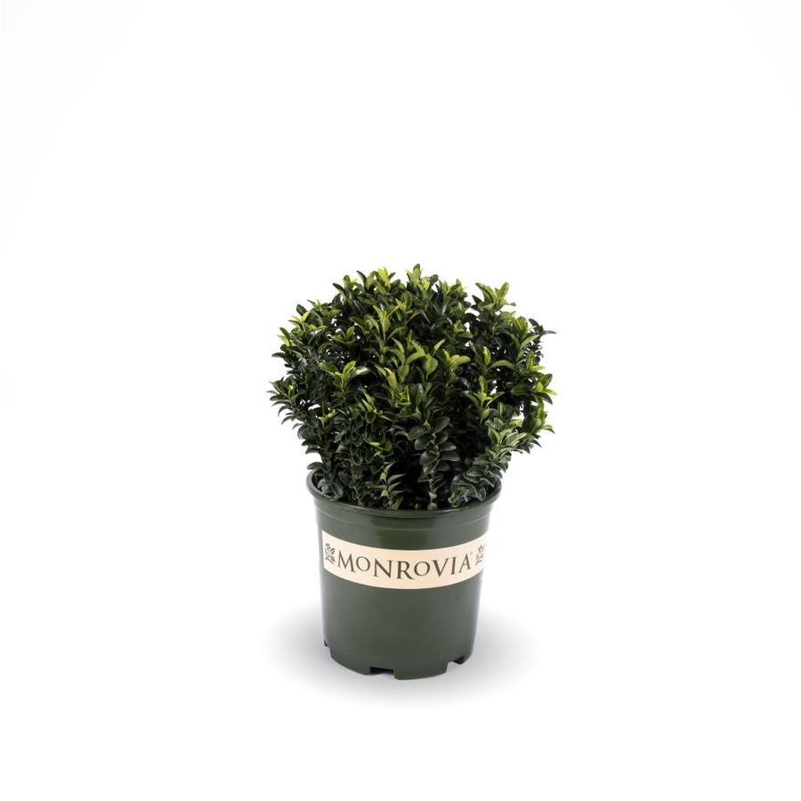 Monrovia 1.6-Gallon Green Spire Euonymus Feature Shrub
