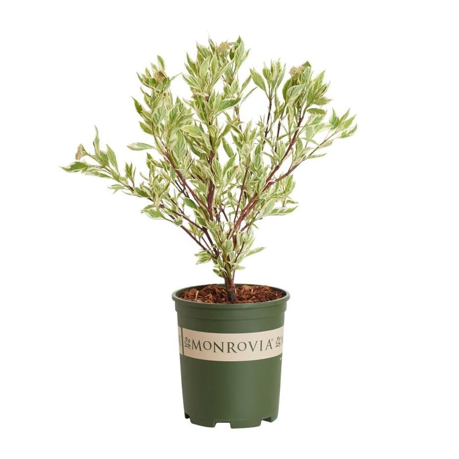 Monrovia 2.6-Quart White Red Twig Dogwood Accent Shrub
