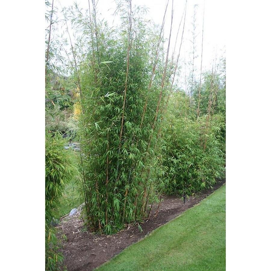 Monrovia 1.6-Gallon Giant Blue Bamboo