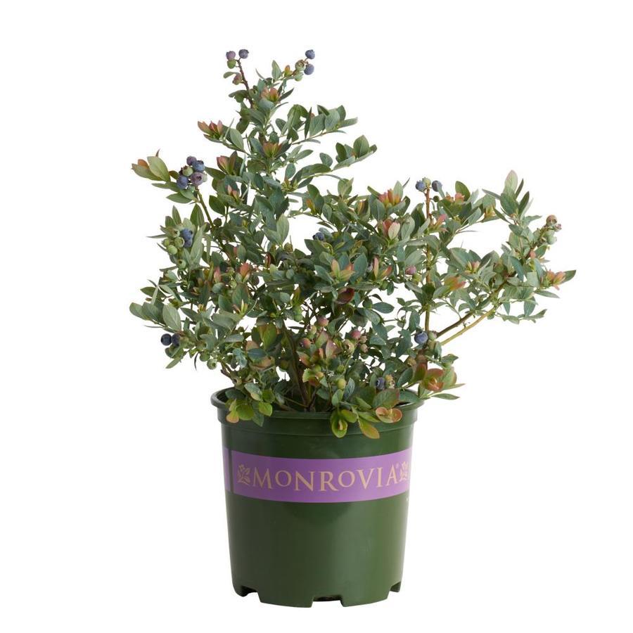 Monrovia 1.6-Gallon White Bountiful Blue Blueberry Flowering Shrub