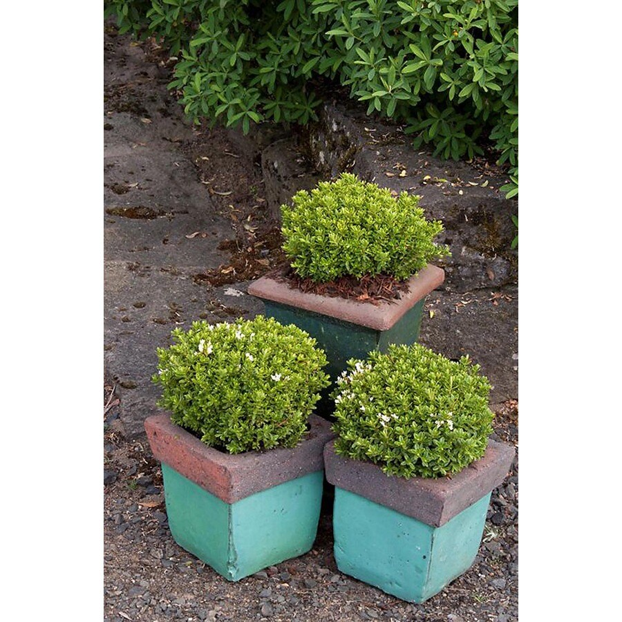 Monrovia 2.6-Quart White Hebe Jasper Flowering Shrub