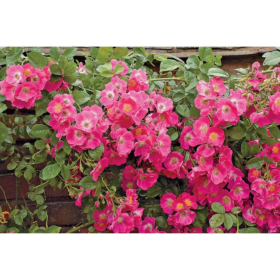 Monrovia 3.58-Gallon in Pot (with Soil) William Baffin Climbing Rose