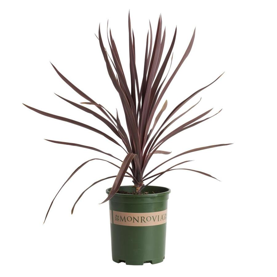 shop monrovia 2 6 quart white bauer 39 s dracaena palm flowering shrub at. Black Bedroom Furniture Sets. Home Design Ideas