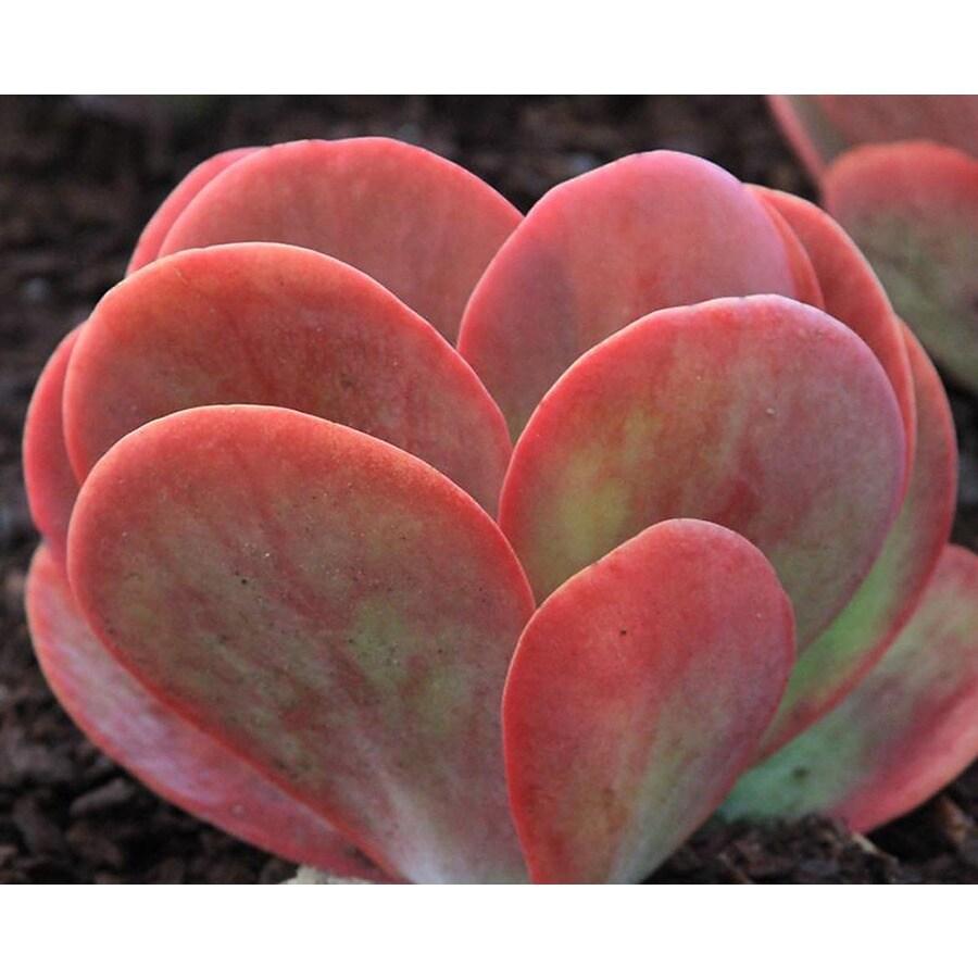Monrovia 1.6-Gallon Kalanchoe Desert Rose
