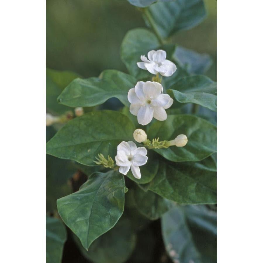 Monrovia 2.6-Quart White Arabian Jasmine Flowering Shrub