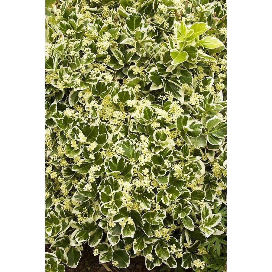 Monrovia 1.6-Gallon Ivory Jade Wintercreeper Feature Shrub