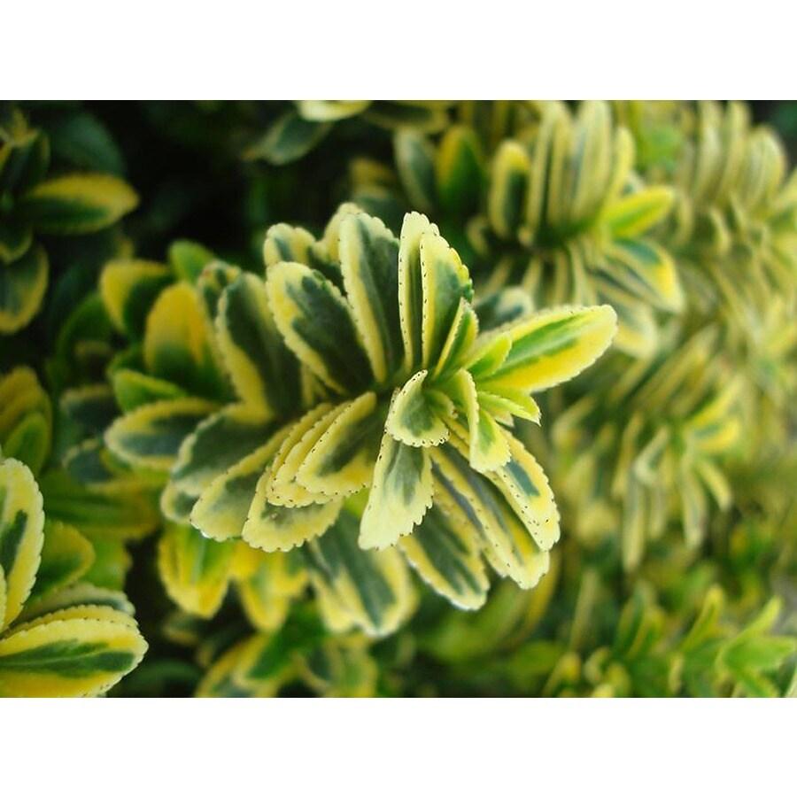 Monrovia 1.6-Gallon Sunny Delight Boxleaf Euonymus Feature Shrub