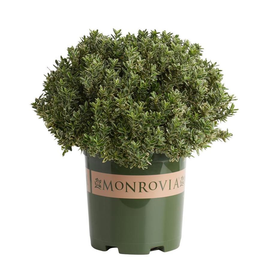 Monrovia 1.6-Gallon Variegated Boxleaf Euonymus Feature Shrub