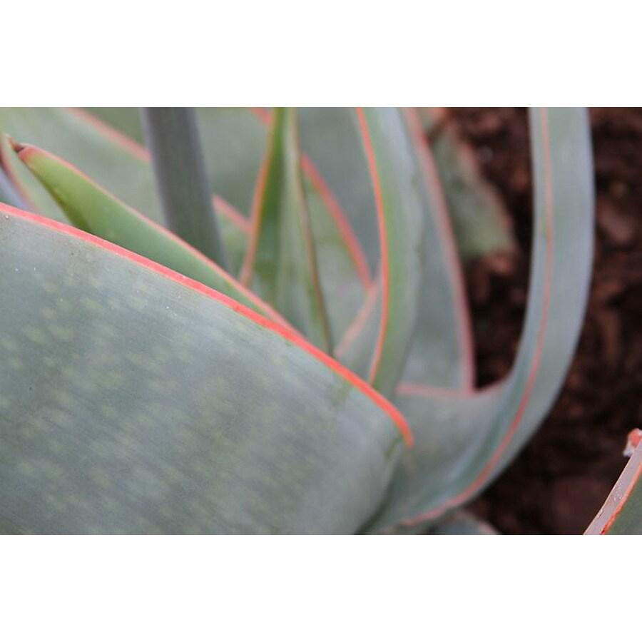Monrovia 1.6-Gallon Coral Aloe
