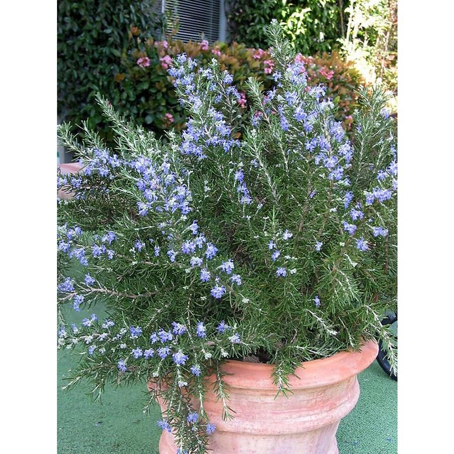 Monrovia 2.6-Quart Blue Roman Beauty Rosemary P18192 Flowering Shrub
