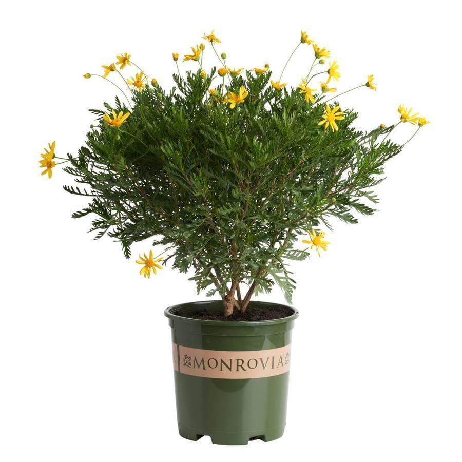 Monrovia 1.6-Gallon Yellow Green Leaved Euryops Flowering Shrub