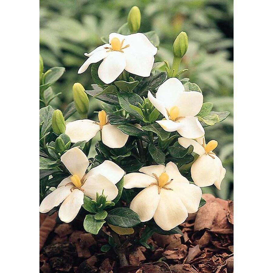 Monrovia 2.6-Quart White Kleim's Hardy Gardenia Flowering Shrub