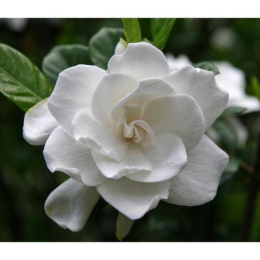 Monrovia 2.6-Quart White First Love Gardenia Flowering Shrub